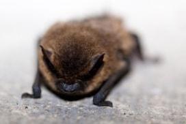 lesser short tailed bat