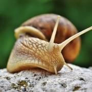 Flax Snail